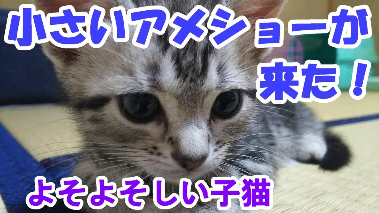 小さいアメショーがうちに来た!よそよそしく始まるアメリカンショートヘアとの暮らし (I live with my cat.American shorthair.)