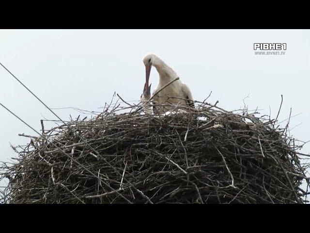 На Рівненщині енергетики будують лелекам нові домівки