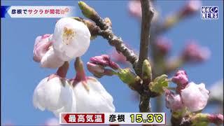 びわ湖放送ニュース4月4日 サクラの開花宣言