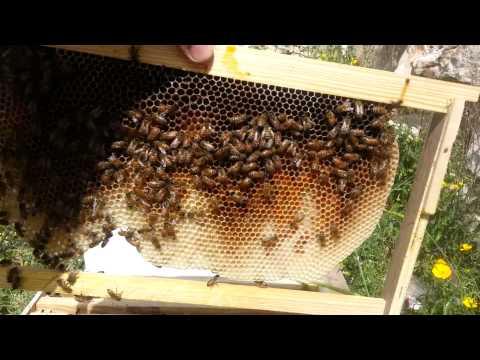 пчеловодство. мой первый пчелиный рой история 3