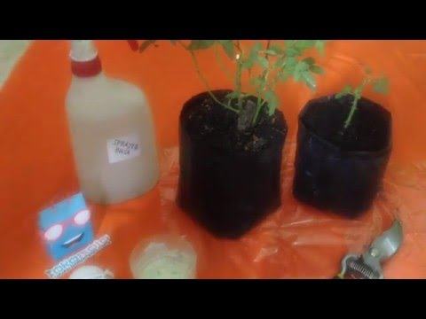 Video Cara Stek Mawar dengan Rootone F