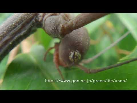葉を食べるブレビペスカレエダナナフシ Lonchodes brevipes