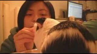 How to teach a guinea pig to circle, starring Minipan!