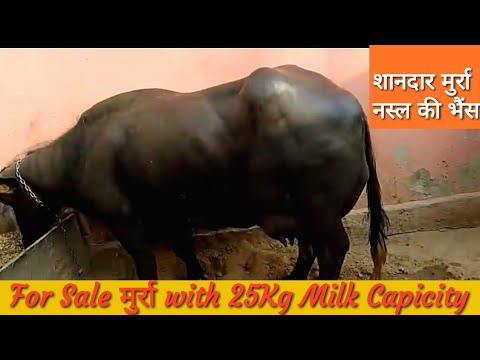 FOR SALE - Show Quality Murrah Buffalo with Female calf in