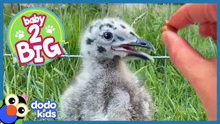 This Hungry Baby Seagull Will Eat Anything   Baby 2 Big   Dodo Kids