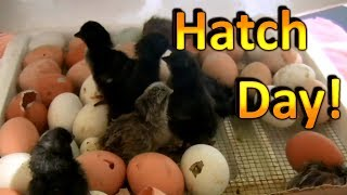 How to Hatch Chicken Eggs (Part 6)  Chicks are Hatching and going into the Brooder!