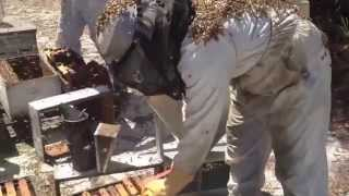 Пчеловодство США стряхивание пчел для продажи пакетов