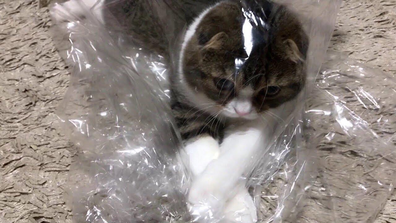 ビニール袋に夢中な子猫【スコティッシュフォールド】【Scottish Fold】