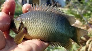 Cá Trê dùng Tuyệt Chiêu thoát lưỡi câu l Mùa khô Rô Trê xuống kênh mặc sức câu l Fish Hunter
