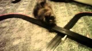 cat swats at slot car track