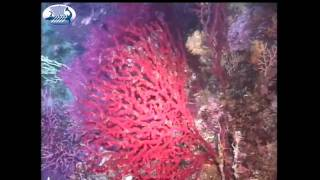 Red corals in the Mediterranean Sea (Aegean sea)