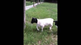 preview picture of video 'Real Smart Sheep'