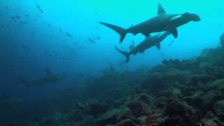Nuestros Mares - Tiburón martillo