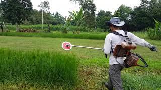 Cara Memotong Rumput Minyak (Brachiaria Humidicola) #SyafilaTernakTrading