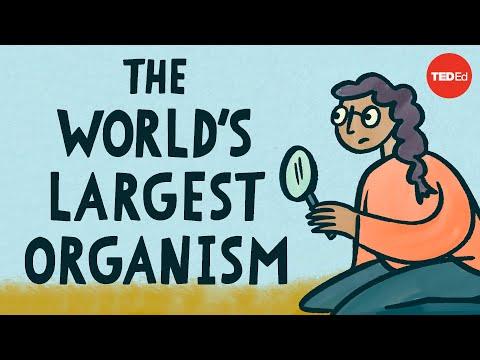 Největší organismus na světě - TED-Ed