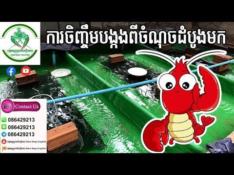 ផ្តុំវីដេអូរបៀបចិញ្ចឹមបង្កងអូស្ត្រាលីដង្កៀបក្រហមទាំងពីដើមមក How to feed Red Claw Crayfish |086429213