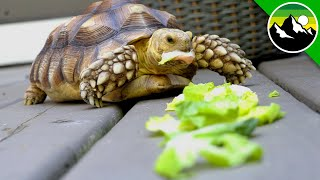 How Much Can a Tortoise Eat?! - A Green Bean Movie