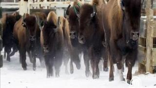 Бизоны на свободе
