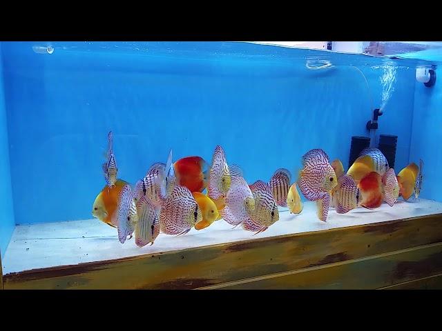 Bare bottom easy discus fish maintenance @ discus america