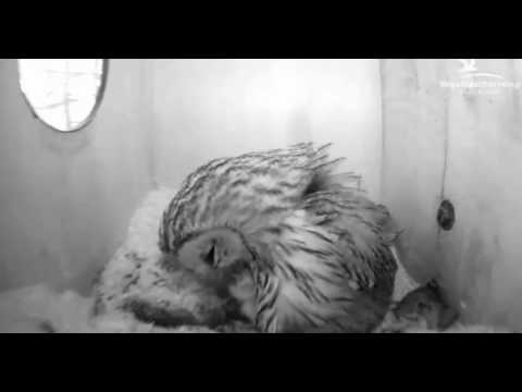 Tawny Owls: Feeding Both Chicks - 23.03.17