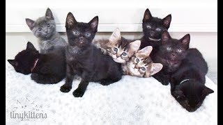 LIVE: Kittens with Sister Moms Angela and Shirley! TinyKittens.com