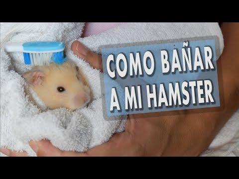 Como Bañar a mi Hamster