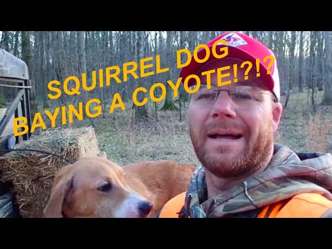MY SQUIRREL DOG BAYED A COYOTE 😲😲😲 At Hollis Farms