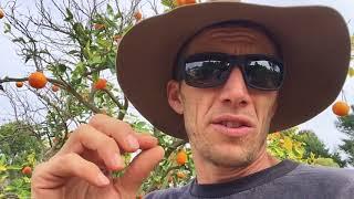 Three ways to help a sick Citrus tree immediately