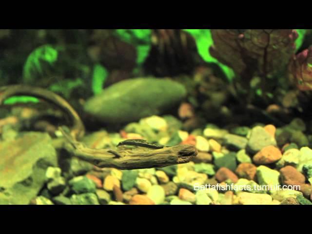 Ep. 1 My Choice Of Betta Fish Tank Mates