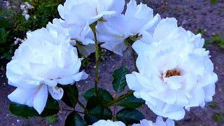 Белые Розы. Шиповник. Красивые Белые Розы. Видео с Розами. Красивые Цветы. Футажи для видеомонтажа