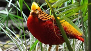 Golden Pheasant Spread Cape in Display | Most Stunningly Beautiful Birds | AnimalTubeShow Part-9