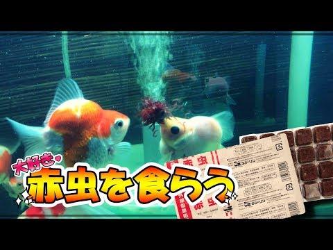 【玉サバ】「実食」冷凍赤虫を食らう!