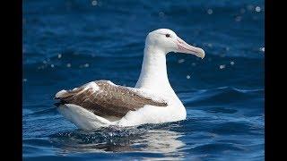 13 Albatross Facts