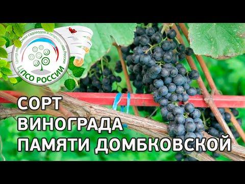 Сорт винограда Памяти Домбковской. 🍇 Описание сорта винограда Памяти Домбковской.