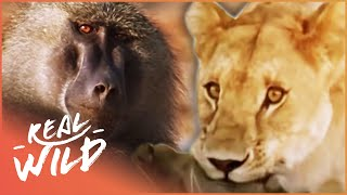 Monkey Hunters [Baboons VS Lions Documentary] | Wild Things