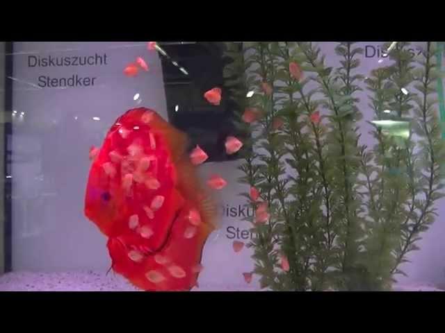 Discus Diskuszucht Stendker video aquarium fish