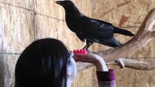 Meet Jet The Talking Crow