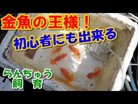 「金魚」らんちゅうの飼い方No.1(初心者でも簡単に)