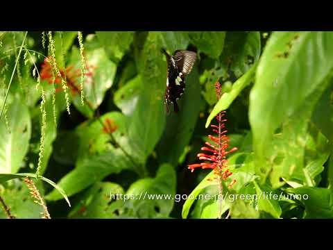 モンキアゲハの飛翔 Papilio helenus in flight