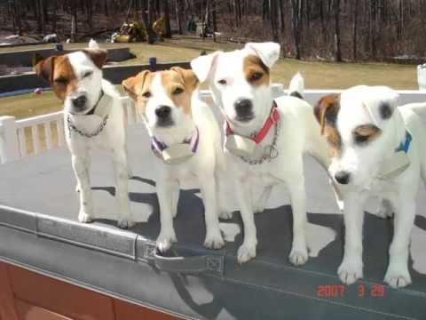 Piture Ideas Of Cute Dog Of Terrier Breed | Jack Russell Terrier Mp3