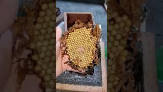 Parte 1 - Selecionando caixas de tiúba para divisão, uruçú cinzenta, Melipona fasciculata