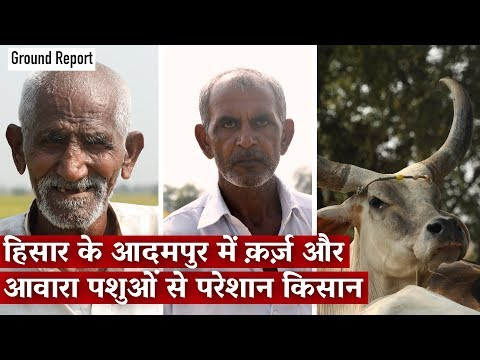 Haryana Election: Farmer Distress And Problem Of Stray Cattle in Haryana
