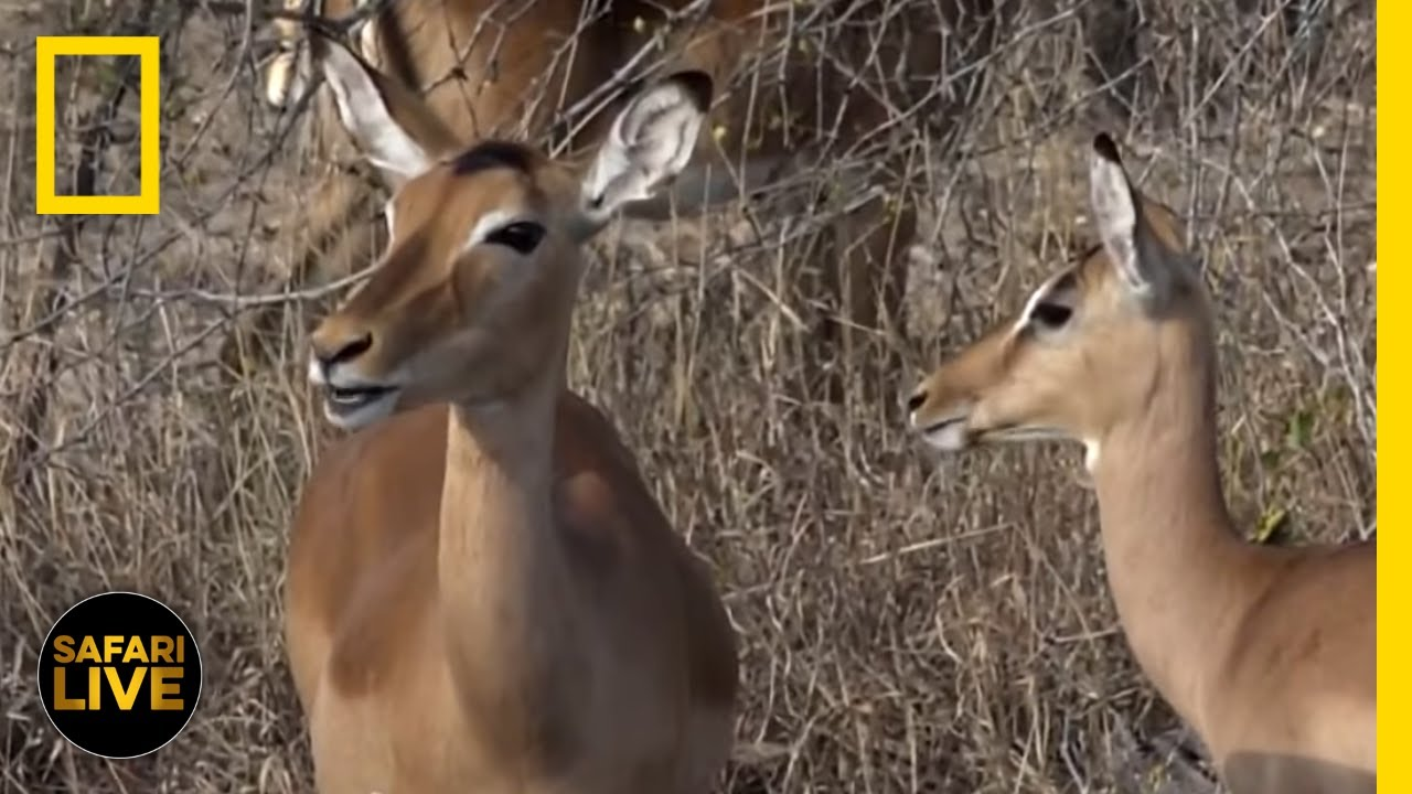 Safari Live - Day 174 | National Geographic thumbnail