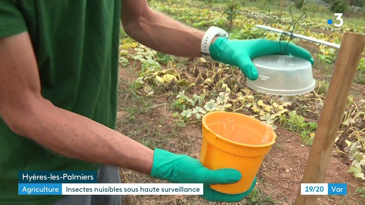Agriculture: surveillance accrue dans le Var des insectes nuisibles