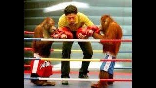 Обезьяны на ринге!!!