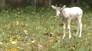 Детеныш антилопы мендес за едой и игрой