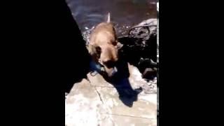 Панда любит плавать