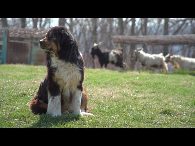 Virginia Farming: Working Dogs Part 2: Livestock Guardian