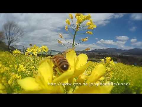 ナノハナ畑を蜜と花粉を求めるミツバチをTG6に魚露目で撮影