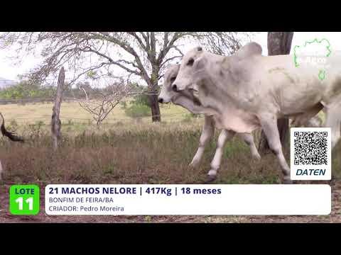 21 MACHOS NELORE - BONFIM DE FEIRA-BA